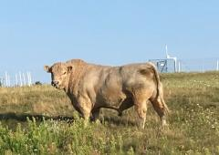 GALLOWAY bull for SALE